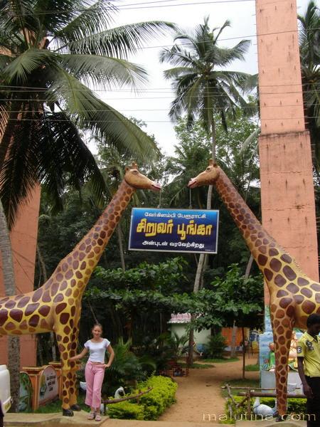 Приветливые жирафы